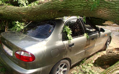 Никогда не оставляйте автомобиль рядом с высокими старыми деревьями