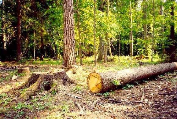 Часто для строительства дорог власти идут на вырубку лесов
